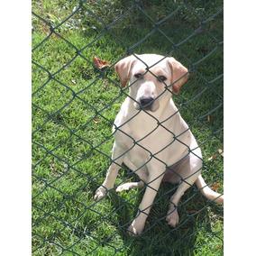 Doação De Filhote Labrador