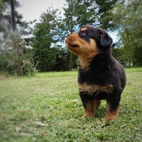 Cachorros Rottweiler - Próxima Camada Nac. Aprox. 13.03.19