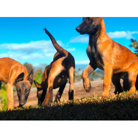 Cachorros Pastor Belga Malinois (familia Pastor Alemán)