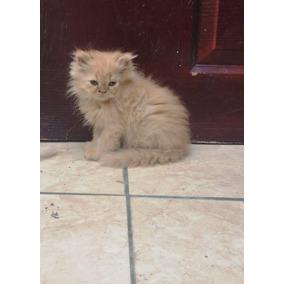 Gatos Persa Himalaya