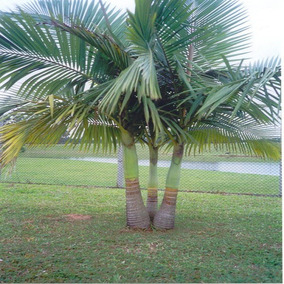 Palmeira Imperial - Palmeira Real - Jardinagem em Paraná no Mercado ... 4e82790d4e06d