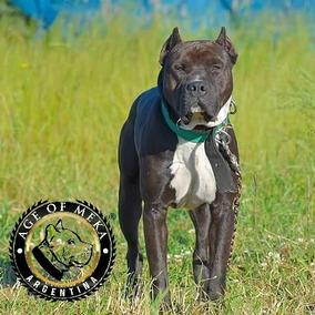 Pitbull Blue Black Stud