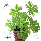 Planta Anti Mosquitos, Planta Contra Mollotes, Zankudoss