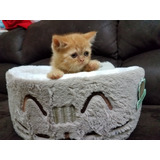 Gatos Gatita Persa Exótica Tradicional Red Tabby