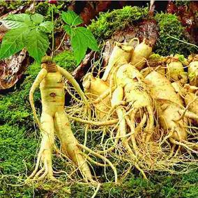 25 Sementes Gynseng Chines Panax Ginseng P/ Mudas