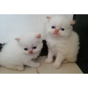 Gatos Himalayos/persa
