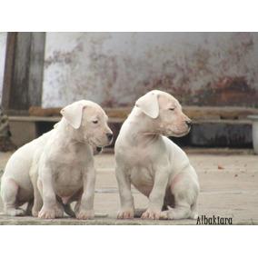 Dogo Argentino - Cachorros De Raza, Puros Con Papeles.