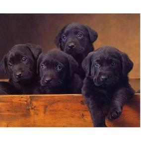 Cachorros Labradores Retriever Negros ! Aceptamos Tarjeta