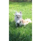 Perro Chihuahua Pelo Largo Con Pedigree Para Monta