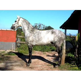 Cavalo Marcha Picada Mangalarga Marchador Garanhao