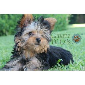 Cachorras Yorkshire Terrier Mini Hembras C/ Pedigree