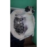 Perritos Pug