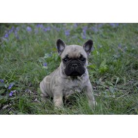 Bulldog Frances Imperdibles Cachorros
