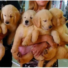 Filhotes De Golden Retriever..