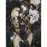 750 Gorgojos Chinos, Adultos, Larvas, Medicina Alternativa