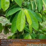 Pacote 100 Folhas De Graviola Orgânicas - Enviadas Frescas
