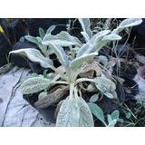 Planta oreja de elefante plantas en mercado libre uruguay for Planta ornamental oreja de elefante