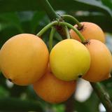 Mudas De Bacupari - Fruta Exótica E Rara