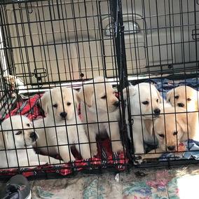 Adorables Cachorros De Labrador Para Buenas Casas