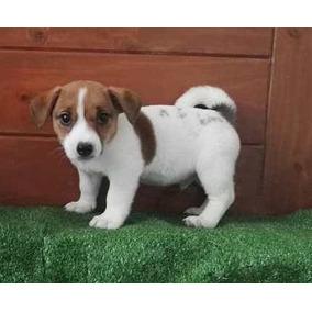 Jack Russell Terrier Macho