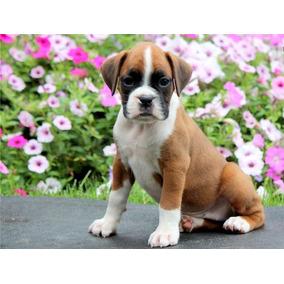 Cachorros Boxer Listos Para Adopción...
