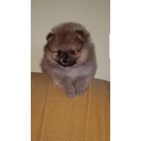 Femea De Lulu Da Raça Do Cachorro Boo