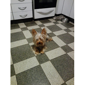 Yorky Mini Para Servicio, El Mas Chiquito