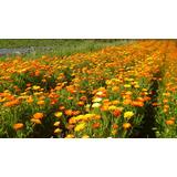 Hierba Medicinal Calendula Organica Sin Pesticidas Ni Plaga