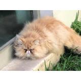 Gatos Persa ¿