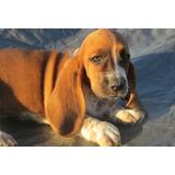 Cachorros De Basset Hound Bien Entrenados