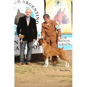 Cachorros Boxer Excelente Calidad Sangre De Campeones