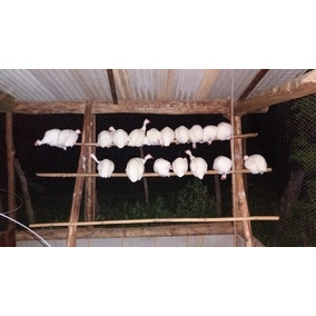 13 Ovos Galados Galinha Da Angola, Capote, Guiné, Branca