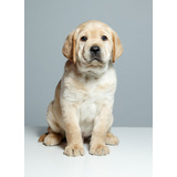 Labrador Cachorros Hermosos Linea Europea