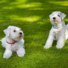 Lindos Cachorros Schnauzer Para Adopción