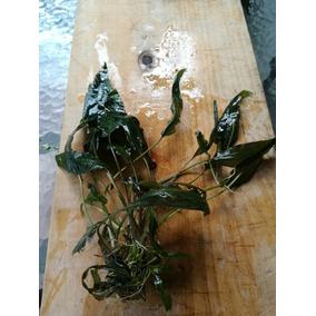 Plantas Acuáticas Para Pecera O Estanque