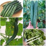 40 Sementes De Pepino Japonês Híbrido Sunomomo Fácil Cultivo