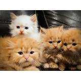 Gatos Exóticos Bebés Divinos!!