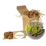 Comprar Succulents Globe Succulent Terrarium Large