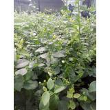 Planta De Arandano Biloxy O Legacy