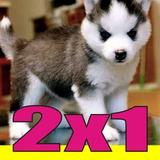 Entrena A Tu Perro Husky Siberiano Completa Actualizada !