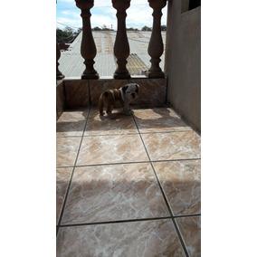 Cachorros Bulldog Ingles, Con Pedigree