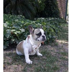 Espectacular Bulldog Frances Pied Fawn Perros De Raza En Mercado
