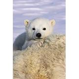 Posterazzi Póster De La Colección Oso Polar Cachorro Peeki