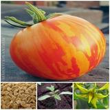 30 Sementes De Tomate Zebra Red Raríssimo E Exótico + Manual