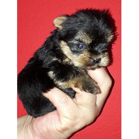 Yorkshire Terrier Hembra Mini Soñada