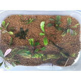 Plantas Acuaticas Bucephalandras