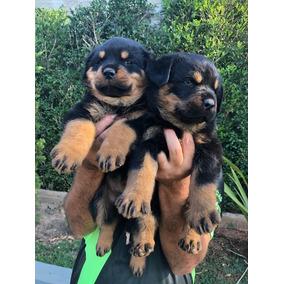 Filhote De Rottweiler C/ Garantia E Pedegree Cbkc