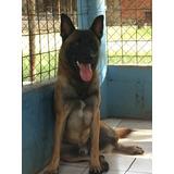 Cachorros Pastor - Malinois