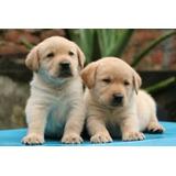 Cachorros Labrador Puppy Los Mas Hermosos