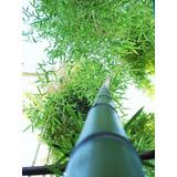 Bambu Verdes /bonitos/buena Tierra /fertilizados/vivero Sag